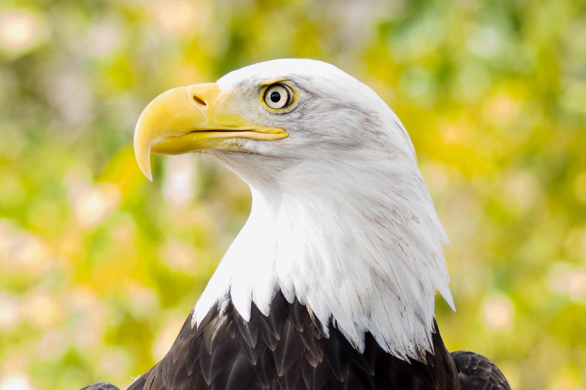 Bald eagle on yellow
