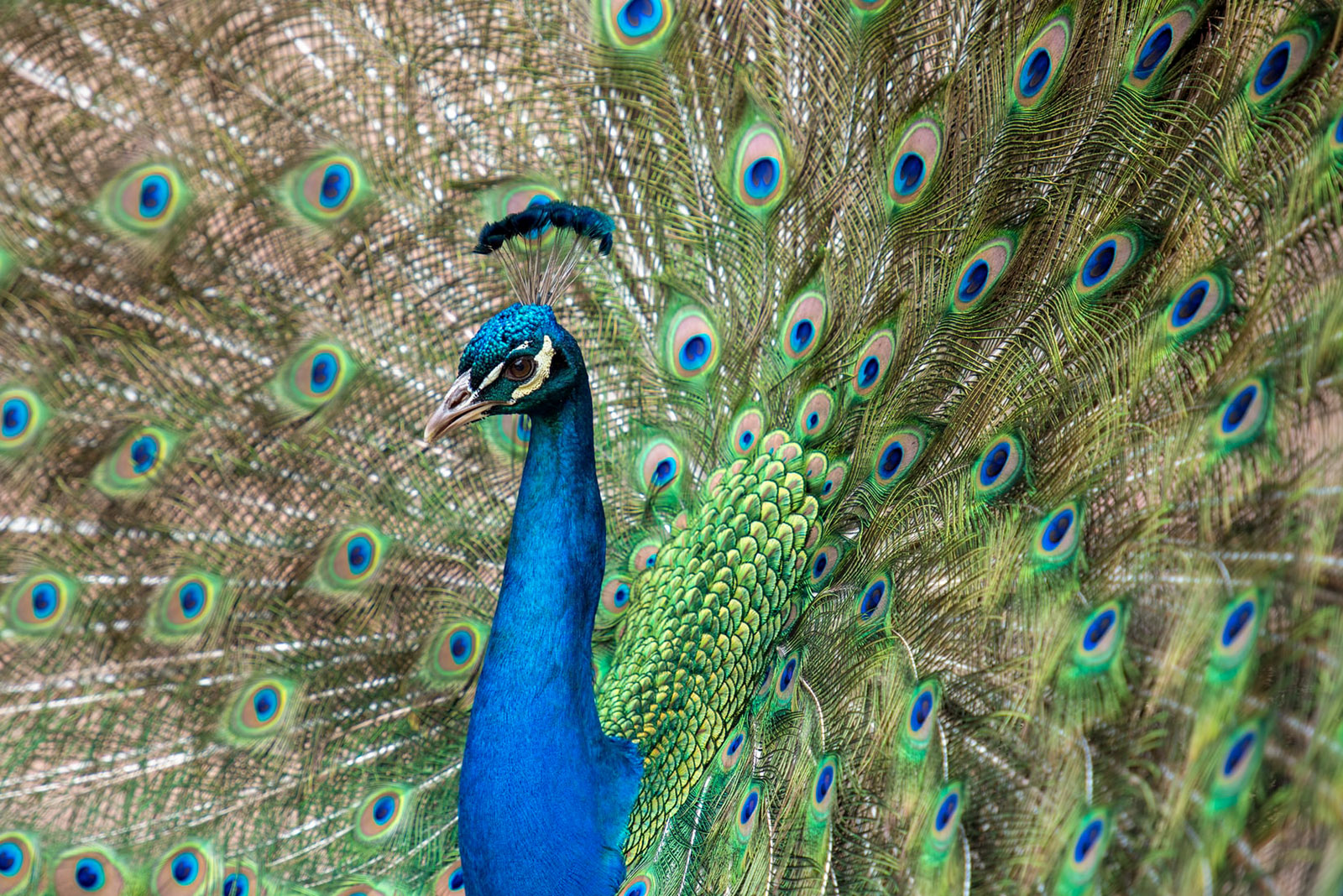 Peacock plumage - closeup