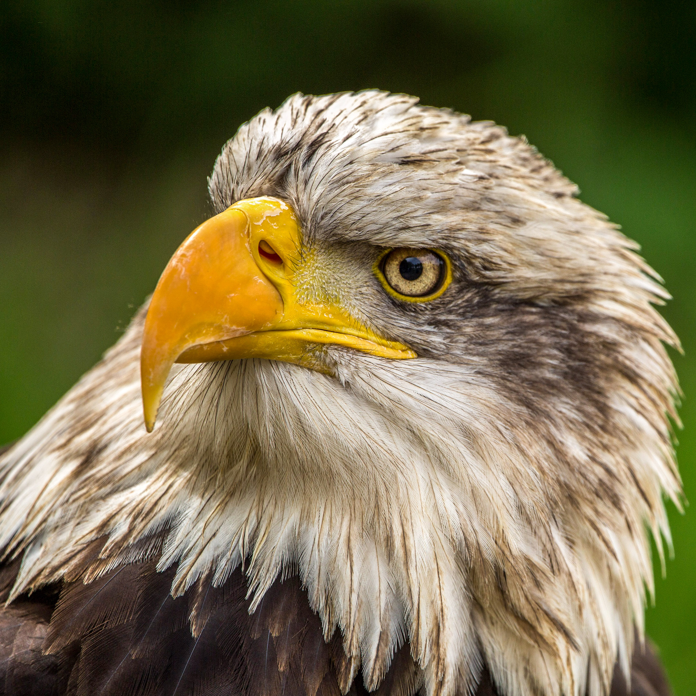 Brown Eagle closeup