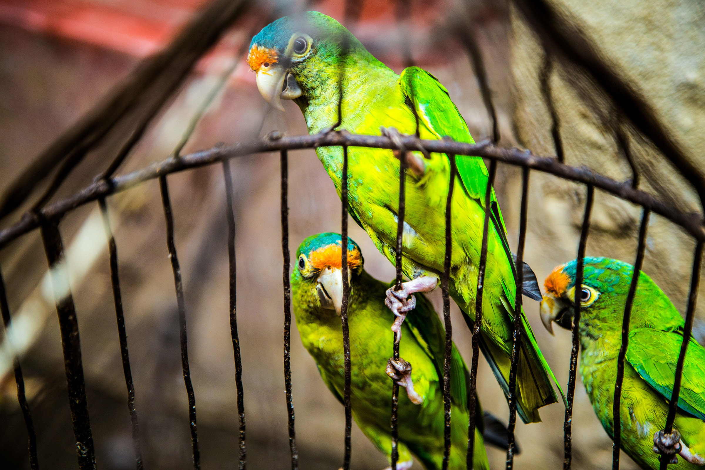 Three caged parakeets