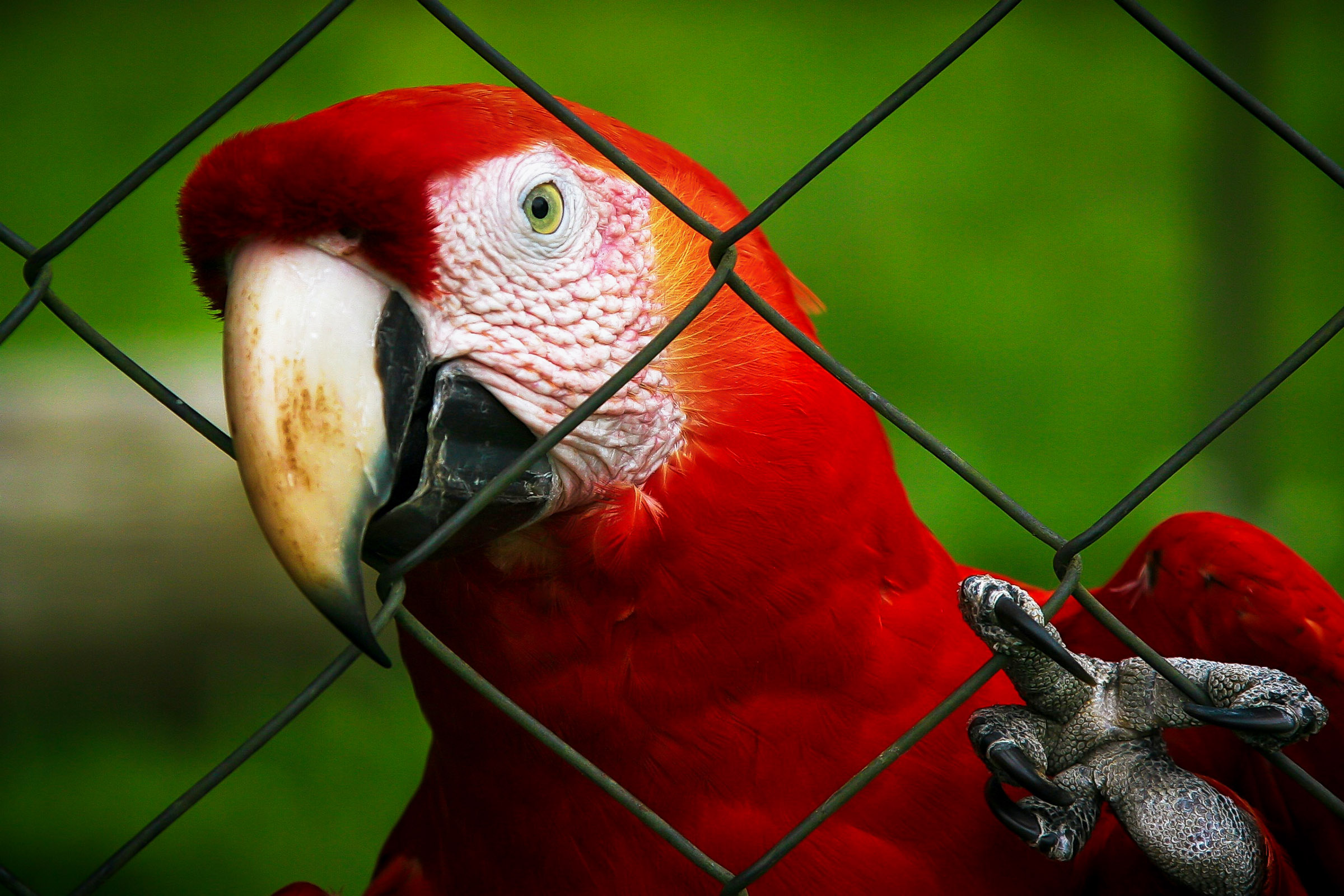 Cloesup parrot on fence