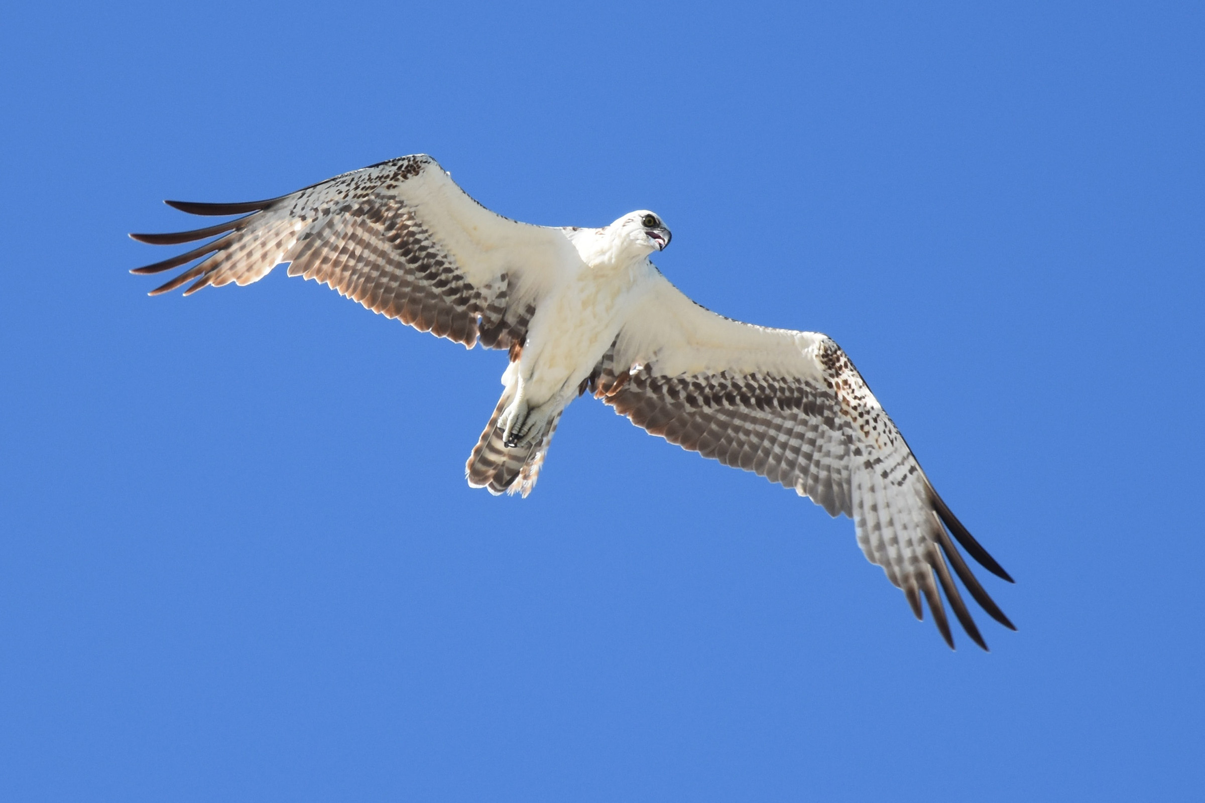 Soaring Hawk Flying High