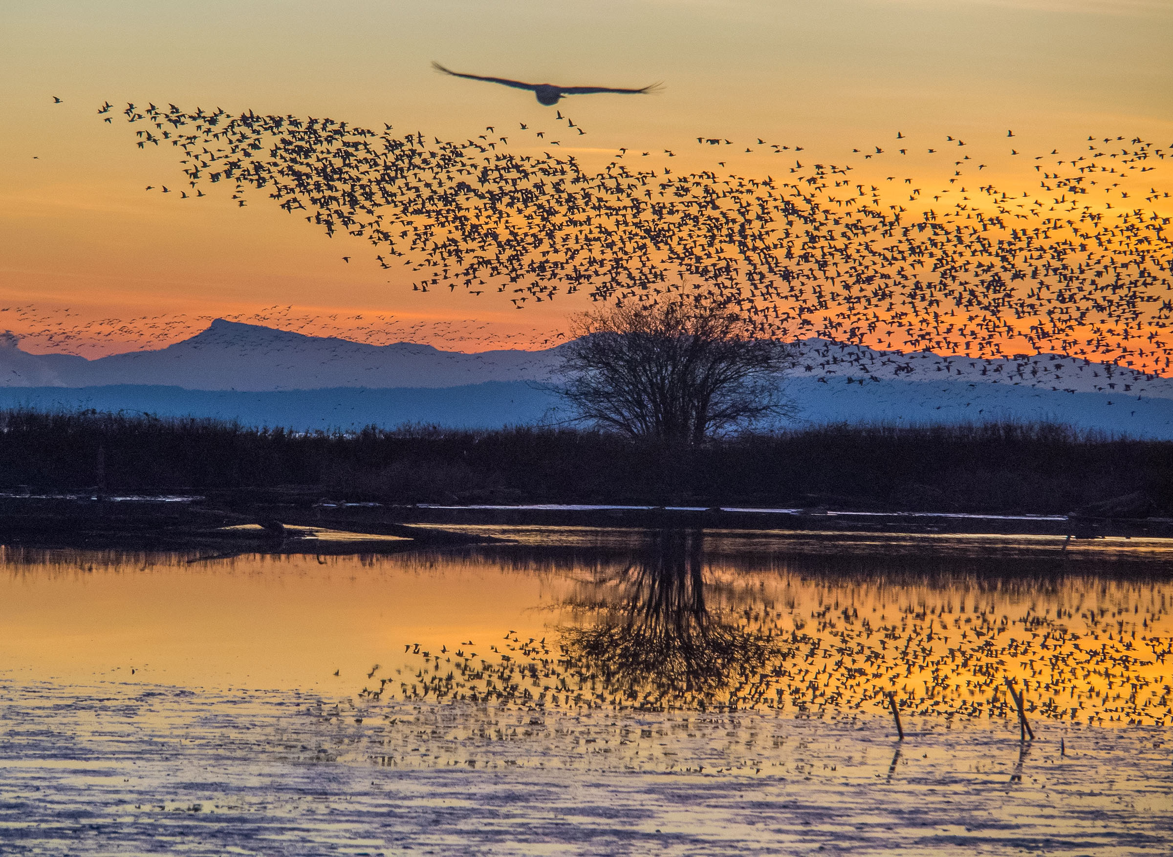 Swarming Flock of Birds at Sunset